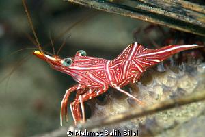 Durban hinge-beak shrimp. by Mehmet Salih Bilal