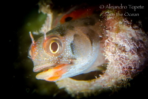 Blenny in Home, Acapulco México by Alejandro Topete