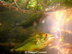 Black bass and his reflect, ray of sun. by Philippe Carriere