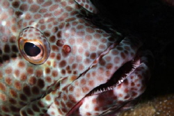 Honeycomb Grouper by Martin Dalsaso
