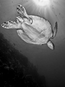Turle in B/W by Alex Varani