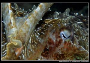 Cuttlefish encounter... :O)... by Michel Lonfat