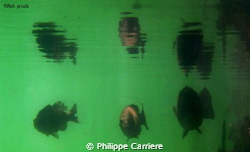3 black bass and reflect near the shadow by Philippe Carriere