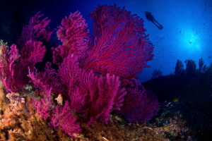 Mediterranean Sea Fan & Diver by Marco Gargiulo