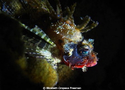Raggy young Scropion Fish