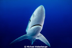 Blue Shark diving at Acores Bank whit https://www.faceboo... by Michael Weberberger