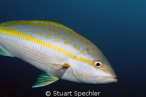 Portrait of a yellow tail snapper, a common but beautiful... by Stuart Spechler