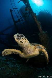 Turtle on Giannis D by Taner Atilgan