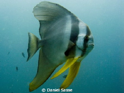 Teira Batfish taken in Phi Phi Islands on a Artificial Re... by Daniel Sasse