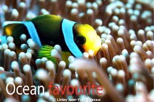Clown fish .Mauritius -Grand Bay  Canon 7d Ilekelite hosi... by Linley Jean-Yves Bignoux