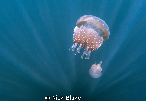 Jellyfish and sun rays, jellyfish lake, Raja Ampat by Nick Blake