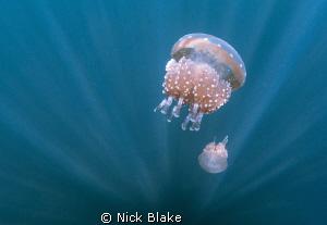 Jellyfish and sun rays, jellyfish lake, Raja Ampat by Nick Blake