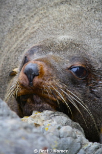Female sea lion snorted at me when I walked by. by Beat J Korner