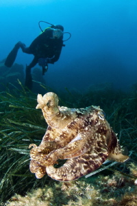 cuttlefish_Sepia officinalis by Mathieu Foulquié