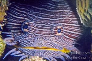 Splendid Toadfish with teeth, Cozumel México by Alejandro Topete