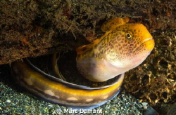 Juvenille Wolf Eel! These younger wolf eels have the most... by Marc Damant