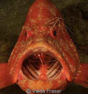 Tomato cod at a cleaning station. by Valda Fraser