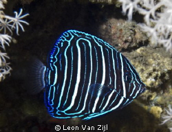 Aliwal Shoal, South Africa by Leon Van Zijl