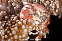 Territorial battle between 2 porcelain anemone crabs by Peet J Van Eeden