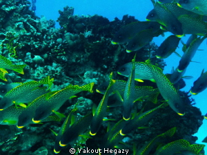 black spotted sweetlep fish by Yakout Hegazy