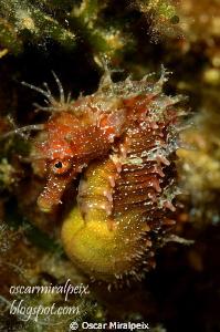 Pregnant  Mediterranean seahorse. (Te la dedico WILLI, a... by Oscar Miralpeix