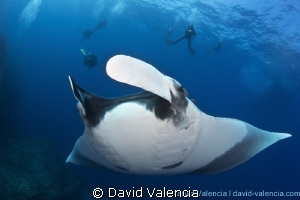 Giant Pacific Manta, Mexico. by David Valencia