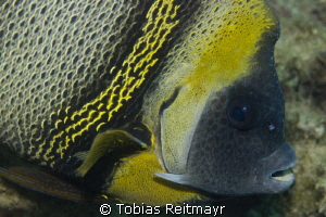 Cortez Angelfish, Eagle Rock, San Carlos, Sonora by Tobias Reitmayr
