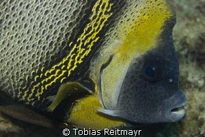 Cortez Angelfish, Eagle Rock, San Carlos, Sonora by Tobias Reitmayr