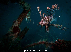 wreck lion fish by Marc Van Den Broeck