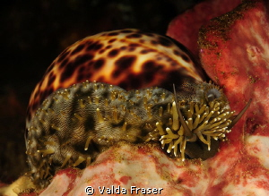 Tiger cowrie feeling hungry. by Valda Fraser