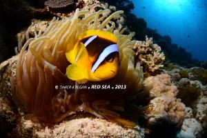 Nervous clown fish (: by Taner Atilgan