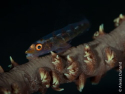 Wire coral goby (Bryaninops yongei) on its coral.