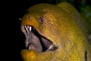 Giant Moray by Iyad Suleyman
