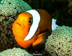 Mini Jaws! These little anenome fish were nestled in thei... by Marc Damant