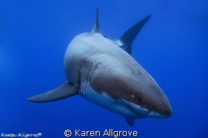 Great White Shark - Cal Ripfin coming in to say hello! by Karen Allgrove