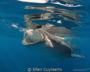 Whaloo First encounter with whale sharks was incredible.... by Ellen Cuylaerts