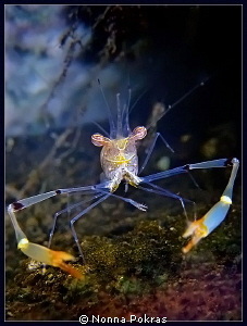 Smiling shrimp, G11 by Nonna Pokras