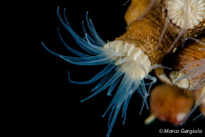 Ephyzoantus sp. by Marco Gargiulo