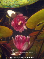 the last day of beauty.... freshwater waterlily by Claudia Weber-Gebert