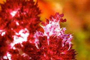 Soft coral crab. by Mehmet Salih Bilal