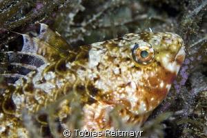 Female Stareye Parrotfish, Piedras Pintas, San Carlos by Tobias Reitmayr