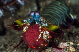 Mantis shrimp with eggs by Raffaele Livornese