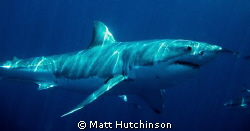 Great White Shark. Neptune Islands South Australia. by Matt Hutchinson