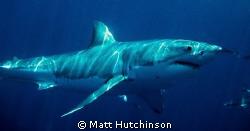 Great White Shark. Neptune Islands South Australia. by Matt Hutchinson