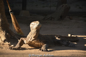 Guard Dragon. Rinca Island. by Morgan Ashton