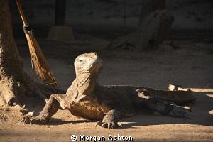 Guard Dragon. Rinca Island. by Morgan Ashton