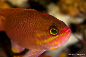 Anthias anthias by Marco Gargiulo