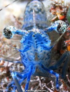 Shrimp blu take in front Nikon D200 , 105 micro, Seacam ... by Marchione Giacomo