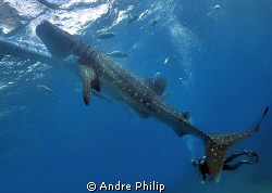 big stuff with giant fin - whaleshark encounter on the ph... by Andre Philip