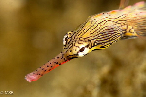Yellow banded pipefish. by Mehmet Salih Bilal
